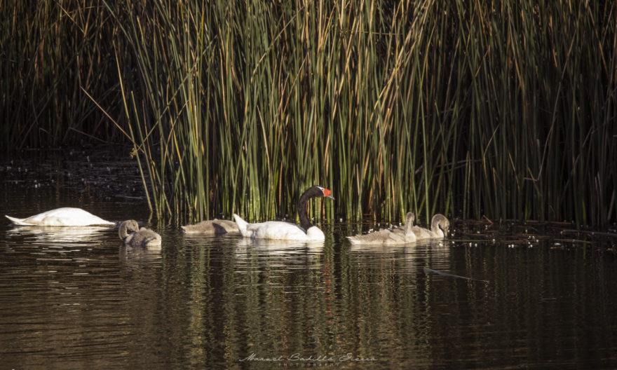 El Cisne nidifica entre juncales, los que son destruidos por los perros en su proceso de cacería.