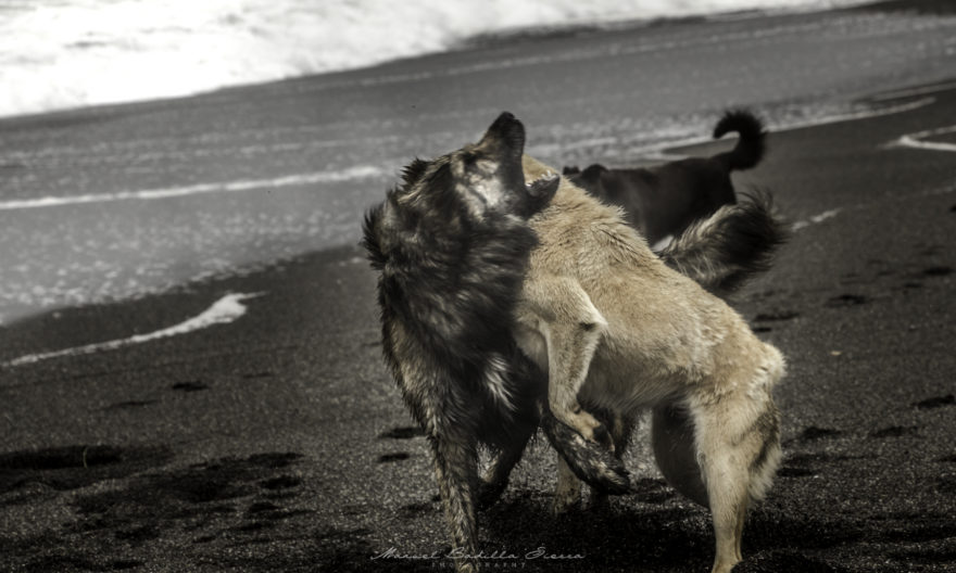 Las jaurías de animales asilvestrados además dificultan el libre uso de espacios comunes como playas.