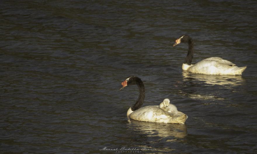 La sobrevivencia de crías de Cisnes (normalmente 3-4) se ve disminuida por la cacería de perros, gatos y visones.