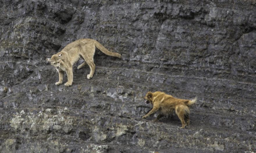 Los perros atacan al Puma en su medio natural por competencia entre depredadores (Foto de Miguel Fuentealba)